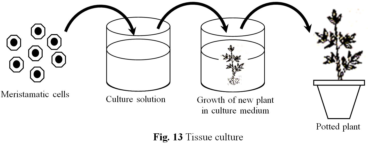 28 Tissue Culture Diagram Conditions And Stages Of