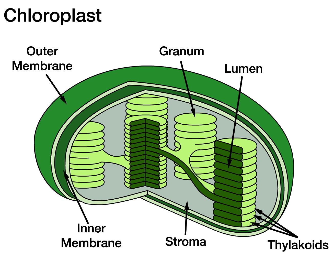 Plastids | Fun Science